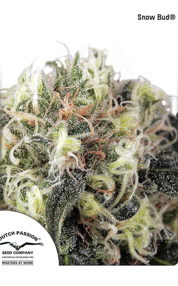 Snow Bud
