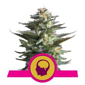Amnesia Haze (Royal Queen Seeds)