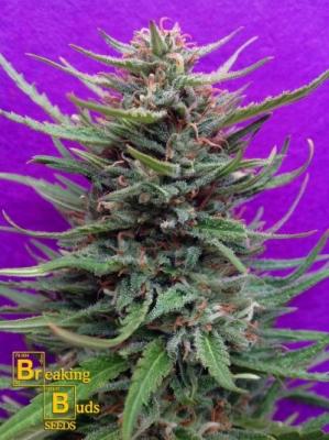 Cream Crystal Meth
