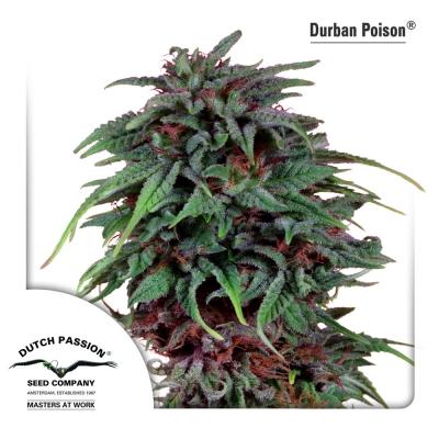 Durban Poison regular